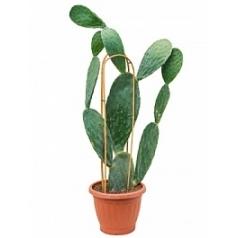 Опунция indica branched Диаметр горшка — 30 см Высота растения — 80 см