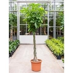 Пахира aquatica stem braided Диаметр горшка — 45 см Высота растения — 250 см