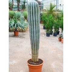 Пахицереус pringlei 1pp (170-180) Диаметр горшка — 40 см Высота растения — 180 см