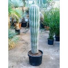 Пахицереус pringlei 1pp Диаметр горшка — 40 см Высота растения — 150 см