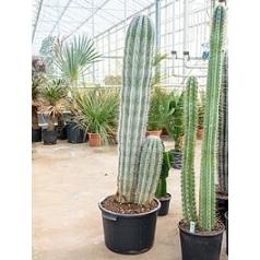 Пахицереус pringlei 2-3pp (170-180) Диаметр горшка — 45 см Высота растения — 180 см