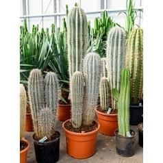 Пахицереус pringlei 3pp (160-170) Диаметр горшка — 40 см Высота растения — 170 см