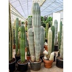 Пахицереус pringlei 3pp (190-220) Диаметр горшка — 40 см Высота растения — 200 см