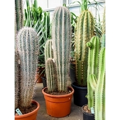 Пахицереус pringlei 3pp Диаметр горшка — 35 см Высота растения — 140 см