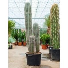 Пахицереус pringlei 3pp Диаметр горшка — 40 см Высота растения — 160 см