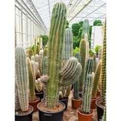 Пахицереус pringlei branched Диаметр горшка — 50 см Высота растения — 210 см