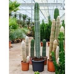 Пахицереус weberii 1pp Диаметр горшка — 40 см Высота растения — 190 см