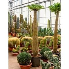 Пахиподиум lamerei branched (180-190) Диаметр горшка — 40+ см Высота растения — 185 см