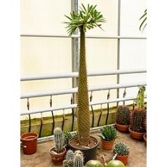 Пахиподиум lamerei branched (230-250) Диаметр горшка — 40+ см Высота растения — 220 см