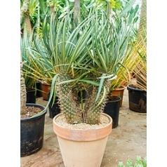 Пахиподиум lamerei branched Диаметр горшка — 30 см Высота растения — 110 см