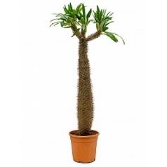 Пахиподиум lamerei Диаметр горшка — 25 см Высота растения — 120 см