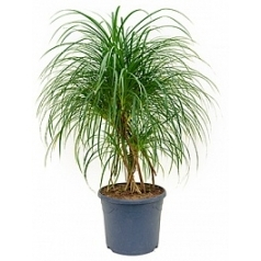 Панус stellatus bush Диаметр горшка — 31 см Высота растения — 100 см