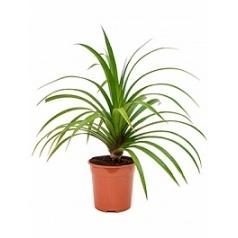 Панус utilis bush Диаметр горшка — 23 см Высота растения — 85 см
