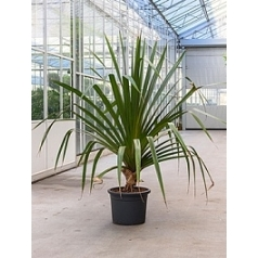 Панус utilis stem bush Диаметр горшка — 40 см Высота растения — 200 см