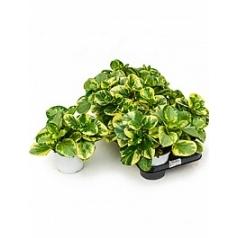 Пеперомия obtusifolia variegata tuft Диаметр горшка — 14 см Высота растения — 25 см