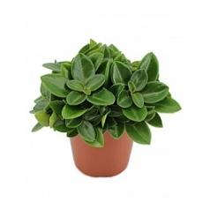 Пеперомия pixie Диаметр горшка — 12 см Высота растения — 20 см