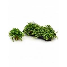 Пеперомия rotundifolia Диаметр горшка — 12 см Высота растения — 20 см