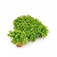 Пеперомия rotundifolia Диаметр горшка — 15 см Высота растения — 30 см