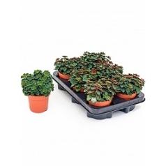 Пеперомия verticillata Диаметр горшка — 10.5 см Высота растения — 15 см