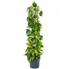 Филодендрон gr brasil column Диаметр горшка — 26 см Высота растения — 130 см