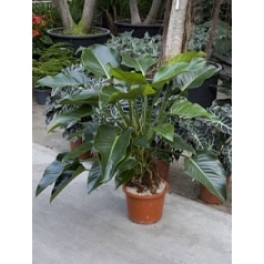 Филодендрон green beauty bush Диаметр горшка — 32 см Высота растения — 130 см