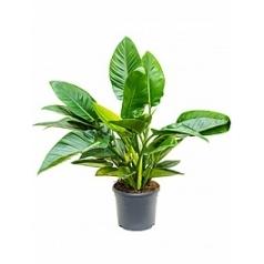 Филодендрон green congo bush Диаметр горшка — 31 см Высота растения — 95 см
