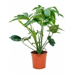 Филодендрон green wonder bush Диаметр горшка — 24 см Высота растения — 80 см