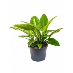 Филодендрон imperial green bush Диаметр горшка — 26 см Высота растения — 50 см