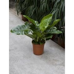 Филодендрон imperial green Диаметр горшка — 27 см Высота растения — 70 см