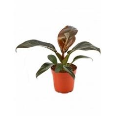 Филодендрон imperial red Диаметр горшка — 10.5 см Высота растения — 25 см