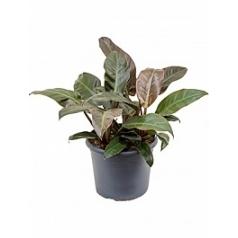 Филодендрон imperial red bush Диаметр горшка — 29 см Высота растения — 65 см