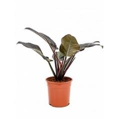 Филодендрон imperial red Диаметр горшка — 24 см Высота растения — 60 см