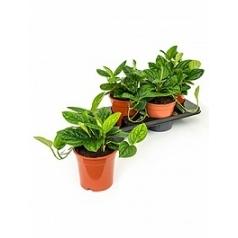 Филодендрон karstenianum hanger Диаметр горшка — 17 см Высота растения — 35 см