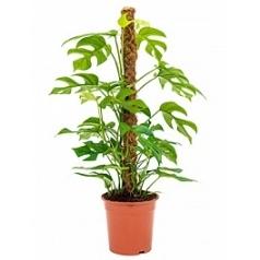 Филодендрон minima on moss-pole 80 Диаметр горшка — 19 см Высота растения — 85 см
