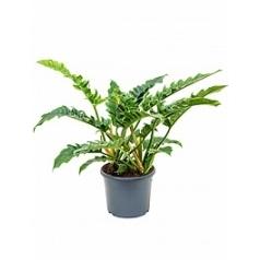 Филодендрон narrow bush Диаметр горшка — 29 см Высота растения — 60 см