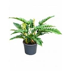 Филодендрон narrow bush Диаметр горшка — 35 см Высота растения — 70 см