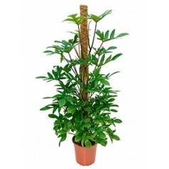 Филодендрон pedatum on moss-pole 150 Диаметр горшка — 27 см Высота растения — 150 см