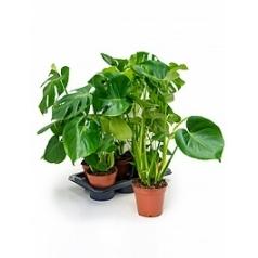 Филодендрон pertusem (Монстера) Диаметр горшка — 12 см Высота растения — 45 см