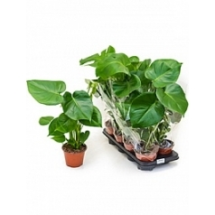 Филодендрон pertusem (Монстера) Диаметр горшка — 14 см Высота растения — 55 см