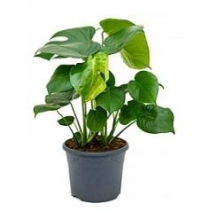 Филодендрон pertusem (Монстера) tuft Диаметр горшка — 26 см Высота растения — 60 см