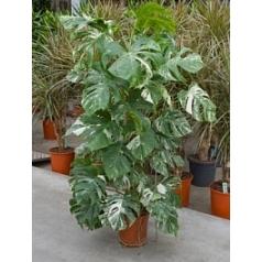 Филодендрон pertusem variegatum / Монстера on moss-pole 120 Диаметр горшка — 24 см Высота растения — 100 см