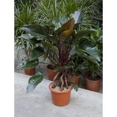 Филодендрон red beauty bush Диаметр горшка — 32 см Высота растения — 130 см