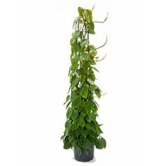 Филодендрон scens column Диаметр горшка — 29 см Высота растения — 160 см
