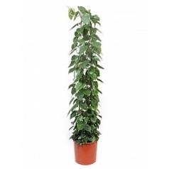 Филодендрон scens column Диаметр горшка — 34 см Высота растения — 180 см