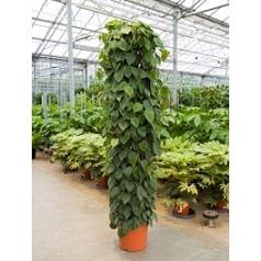 Филодендрон scens column Диаметр горшка — 40 см Высота растения — 220 см