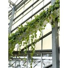 Филодендрон scens hanger (50-75) Диаметр горшка — 31 см Высота растения — 75 см