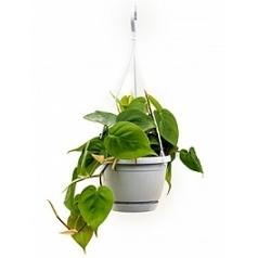 Филодендрон scens hanger Диаметр горшка — 17 см Высота растения — 40 см