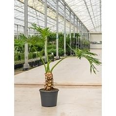 Филодендрон selloum stem/bush Диаметр горшка — 35 см Высота растения — 120 см