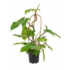 Филодендрон squamiferum 1pp Диаметр горшка — 17 см Высота растения — 80 см