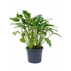 Филодендрон xanadu bush Диаметр горшка — 29 см Высота растения — 60 см